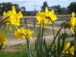 Spring Daffodills - Canobolas~Smith Wines, Orange NSW